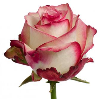 Оптовые поставки розы сорта Paloma из Эквадора