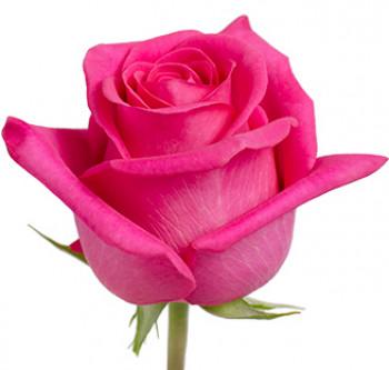 Розы сорта Pink Floyd оптом из Эквадора