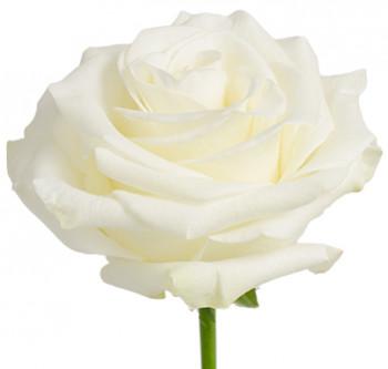 Розы сорта Polar Star оптом из Эквадора