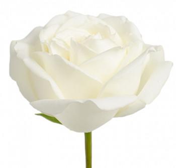 Розы сорта Polo оптом из Эквадора