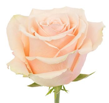 Розы сорта Primavera оптом из Эквадора