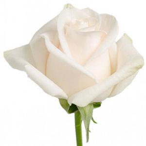 Розы сорта Proud оптом из Эквадора
