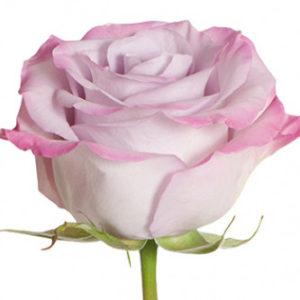 Розы сорта Purple Haze оптом из Эквадора