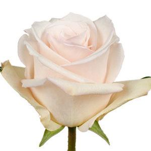Купить оптом Розы сорта Queen of Pearl из Эквадора
