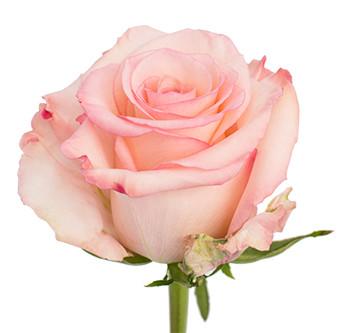 Розы сорта Rhoslyn оптом из Эквадора