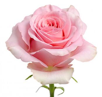Розы сорта Saga оптом из Эквадора