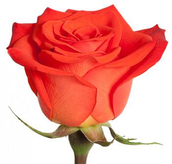Розы сорта Santana оптом из Эквадора