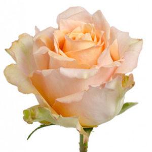 Розы сорт Shukrani оптом из Эквадора