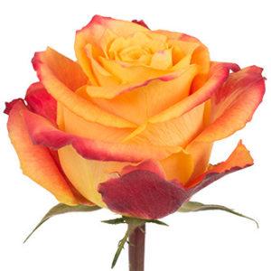 Розы сорта Silantoi оптом из Эквадор