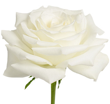 Розы сорта Snowy Jewel оптом из Эквадора