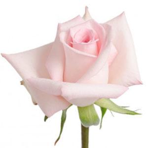Розы сорта Sophie оптом из Эквадора