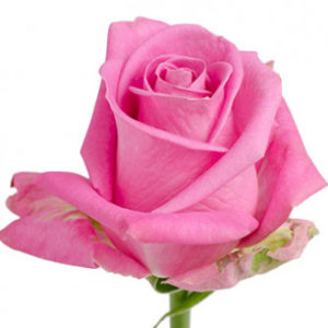 Заказать оптом розы сорта Soulmate из Эквадора