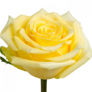 Розы сорта Stardust оптом из Эквадора