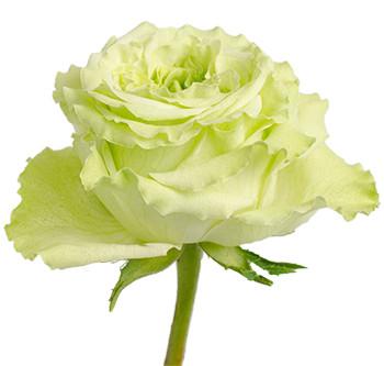 Заказать Розы сорта Super Green оптом из Эквадора