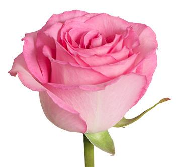 Розы сорта Sweet Unique оптом из Эквадора