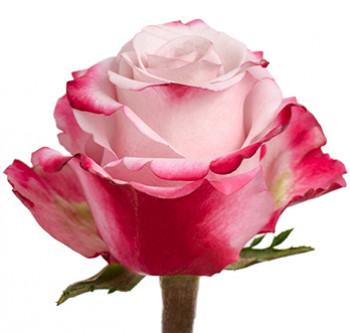 Розы сорта Sweetberry оптом из Эквадора