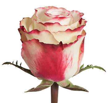 Розы сорта Sweetness оптом из Эквадора