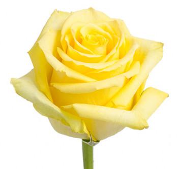 Розы сорта Tara оптом из Эквадора