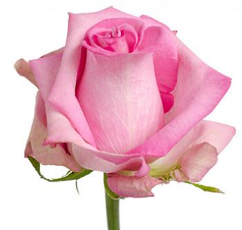 Розы сорта Thrill оптом из Эквадора
