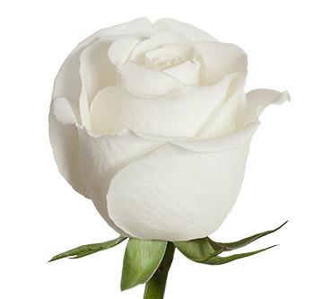 Розы сорта Tibet оптом из Эквадора