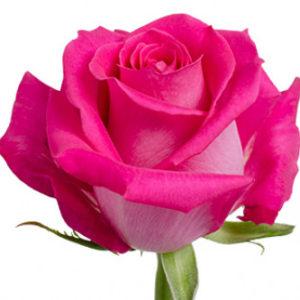 Оптовые поставки розы сорта Topaz из Эквадора