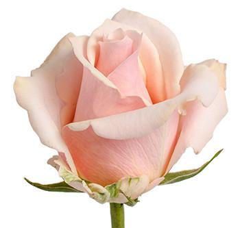 Розы сорта Trust оптом из Эквадора