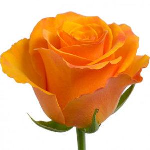 Розы сорта Tycoon оптом из Эквадора