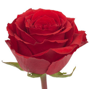 Розы сорта Undercover оптом из Эквадора