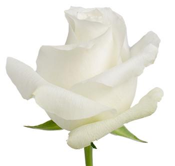 Оптовые поставки розы сорта Vendela из Эквадора