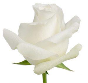 Белая оптом роза из Эквадора