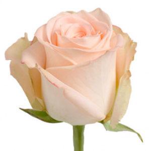 Розы сорта Versilia из Эквадора