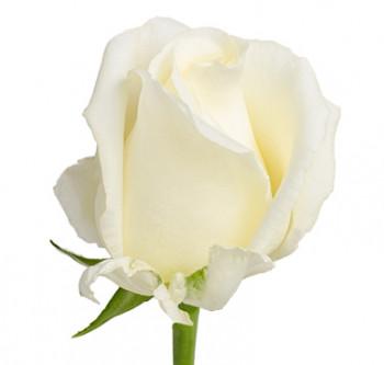 Розы сорта White Chocolate оптом из Эквадора