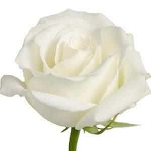 Розы сорта White Dove оптом из Эквадора