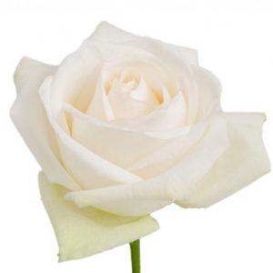 Поставки розы сорта White Ohara оптом из Эквадора