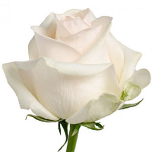 Заказать оптом розы сорта Pastella из Эквадора