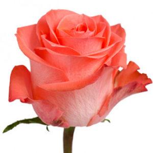 Розы сорта Wow оптом из Эквадора