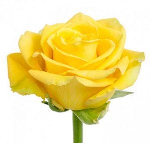Желтая роза оптом из Эквадора