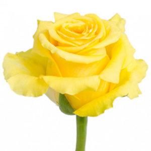 Розы сорта Yokohama оптом из Эквадора