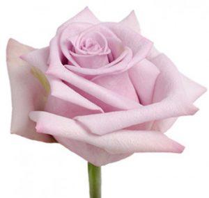 Оптовые поставки лавандовой розы из Эквадора