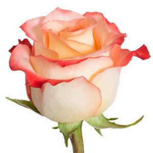 Розы сорта cabaret оптом из Эквадора
