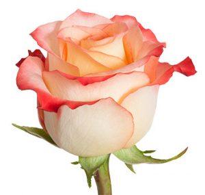 Двухцветная роза из Эквадора