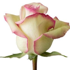Розы сорта cezanne оптом из Эквадора