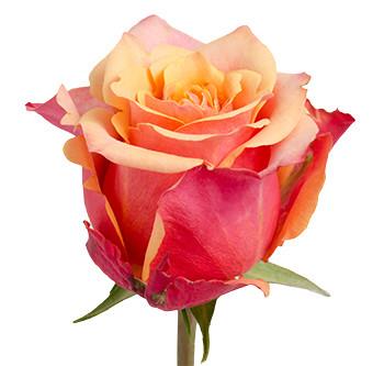 Розы сорта cherry brandy оптом из Эквадора