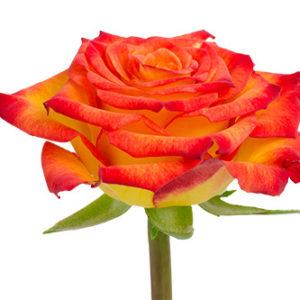 Розы сорта circus оптом из Эквадора