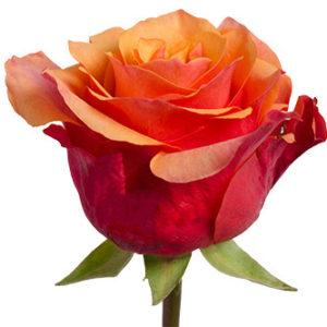 Розы сорта espana оптом из Эквадора