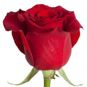 Розы сорта freedom оптом из Эквадора
