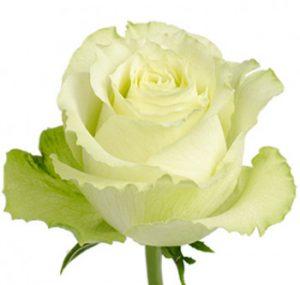Оптовые поставки зеленой розы из Эквадора