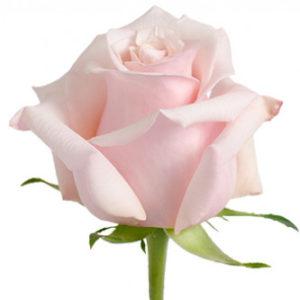 Розы сорта mother of pearl оптом из Эквадора