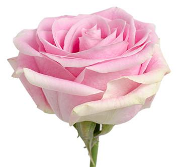 Розы сорта rosita vendela оптом из Эквадора