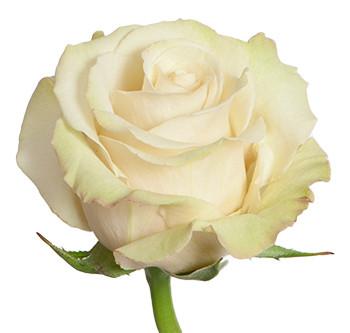 Заказать розы сорта sahara оптом из Эквадора